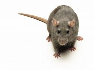 rat-large-300x226