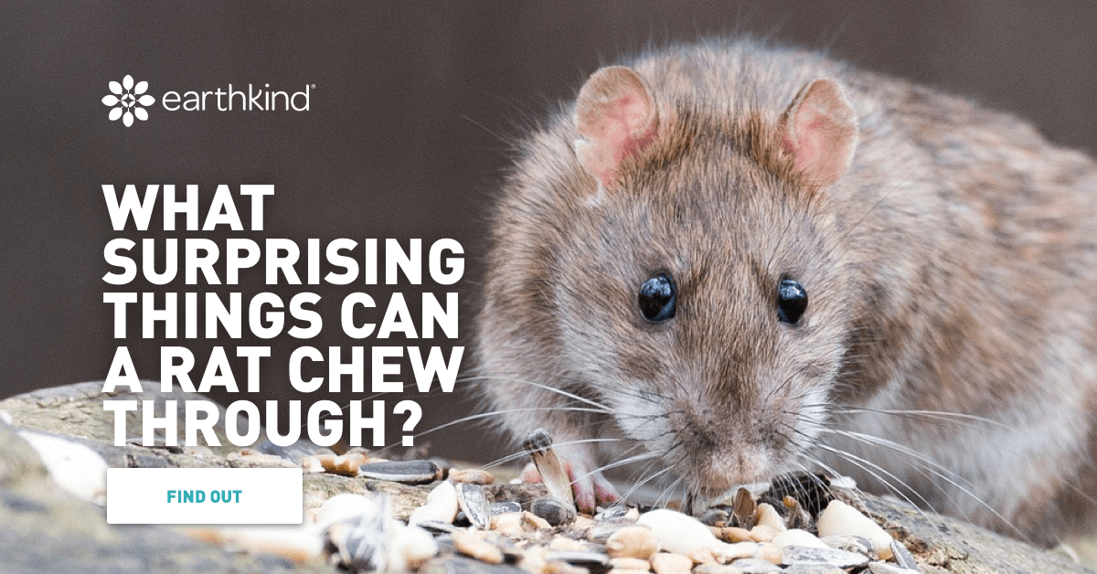 What Surprising Things Can A Rat Chew Through? | Earthkind