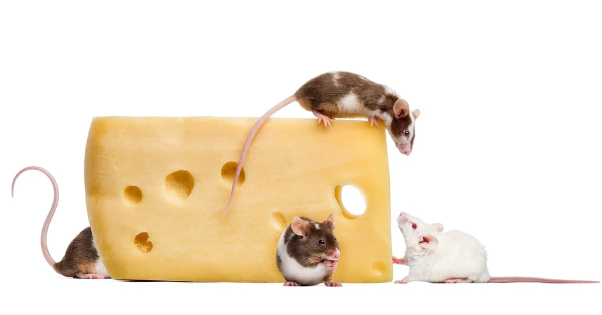 Do mice really like cheese?