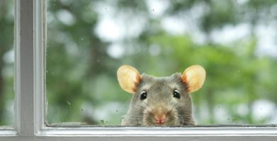 Getting Rid of Rats and Mice in Your Yard