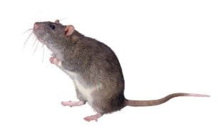 Standing_Mouse