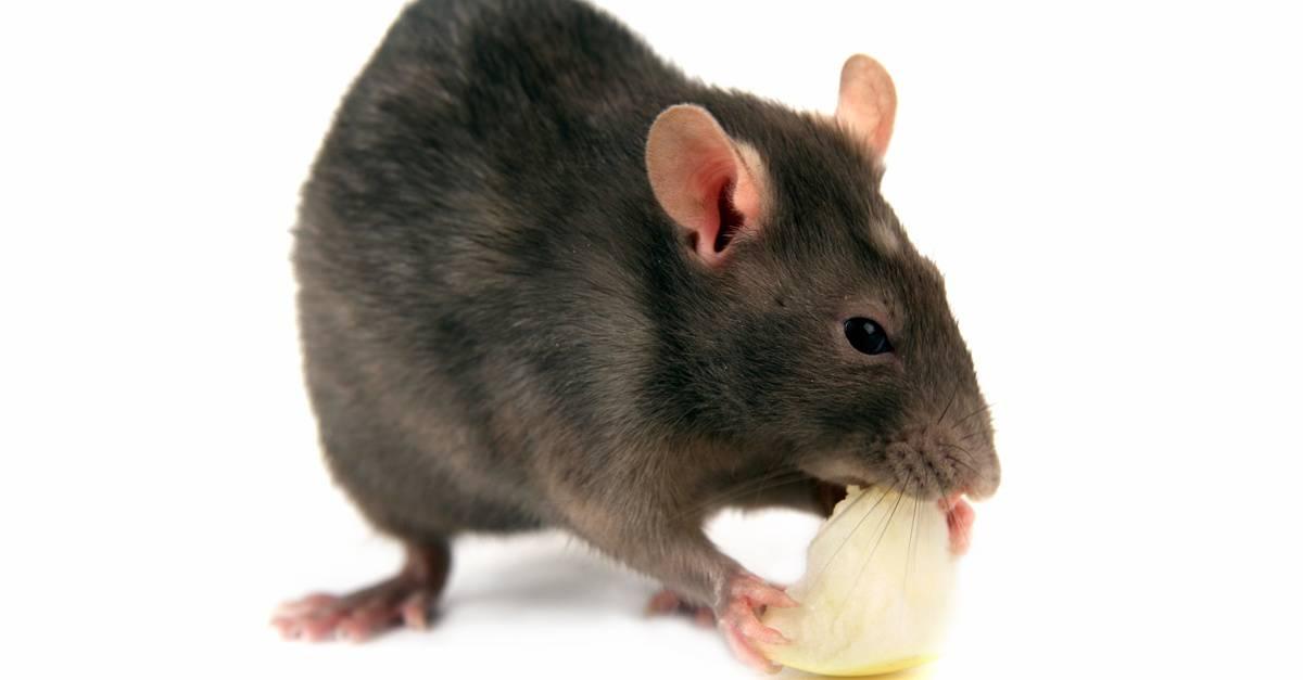 rat_eating_FB.jpg
