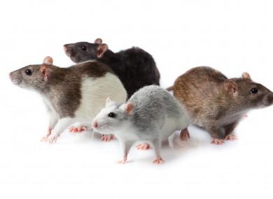 Rats_rodents