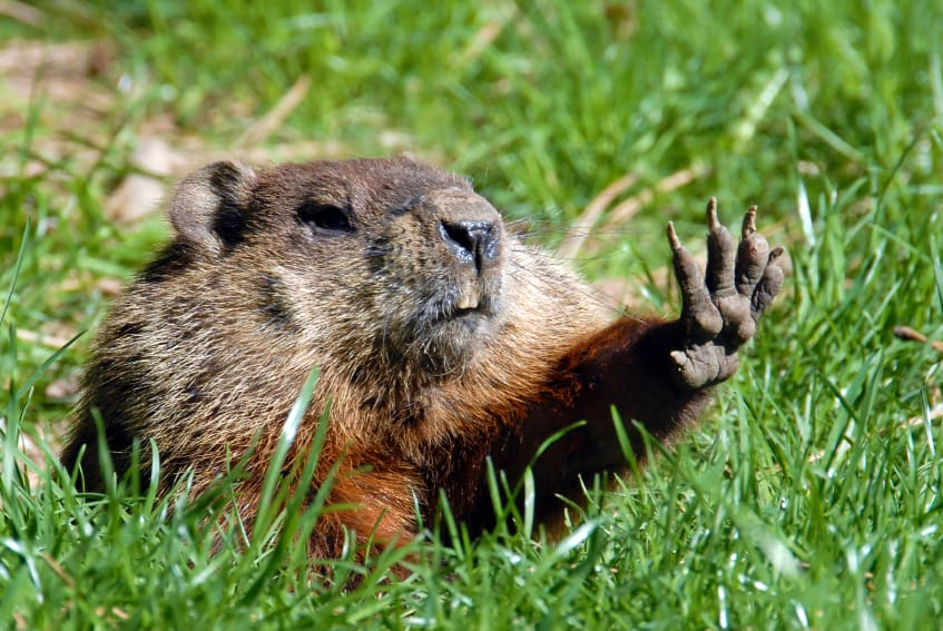 Groundhog_Talk_to_the_Hand