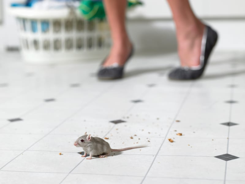 Mouse Poop on Kitchen Floor