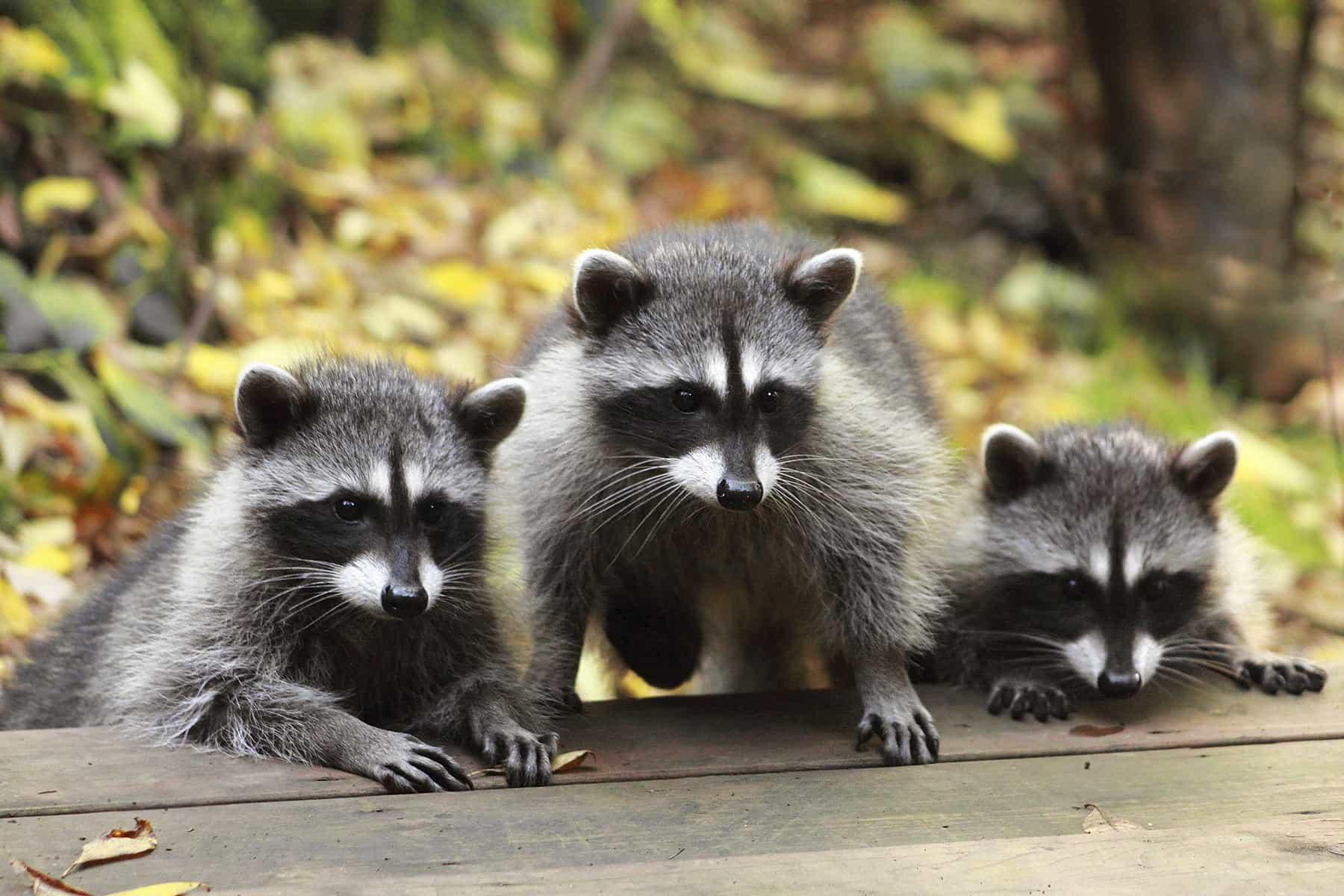Raccoon Problem in Attic