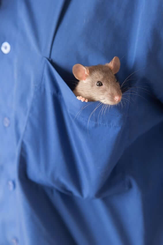 Rat_in_Pocket
