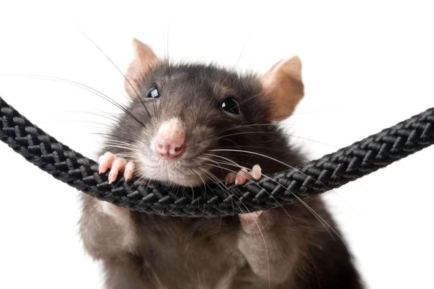 Rat_on_rope