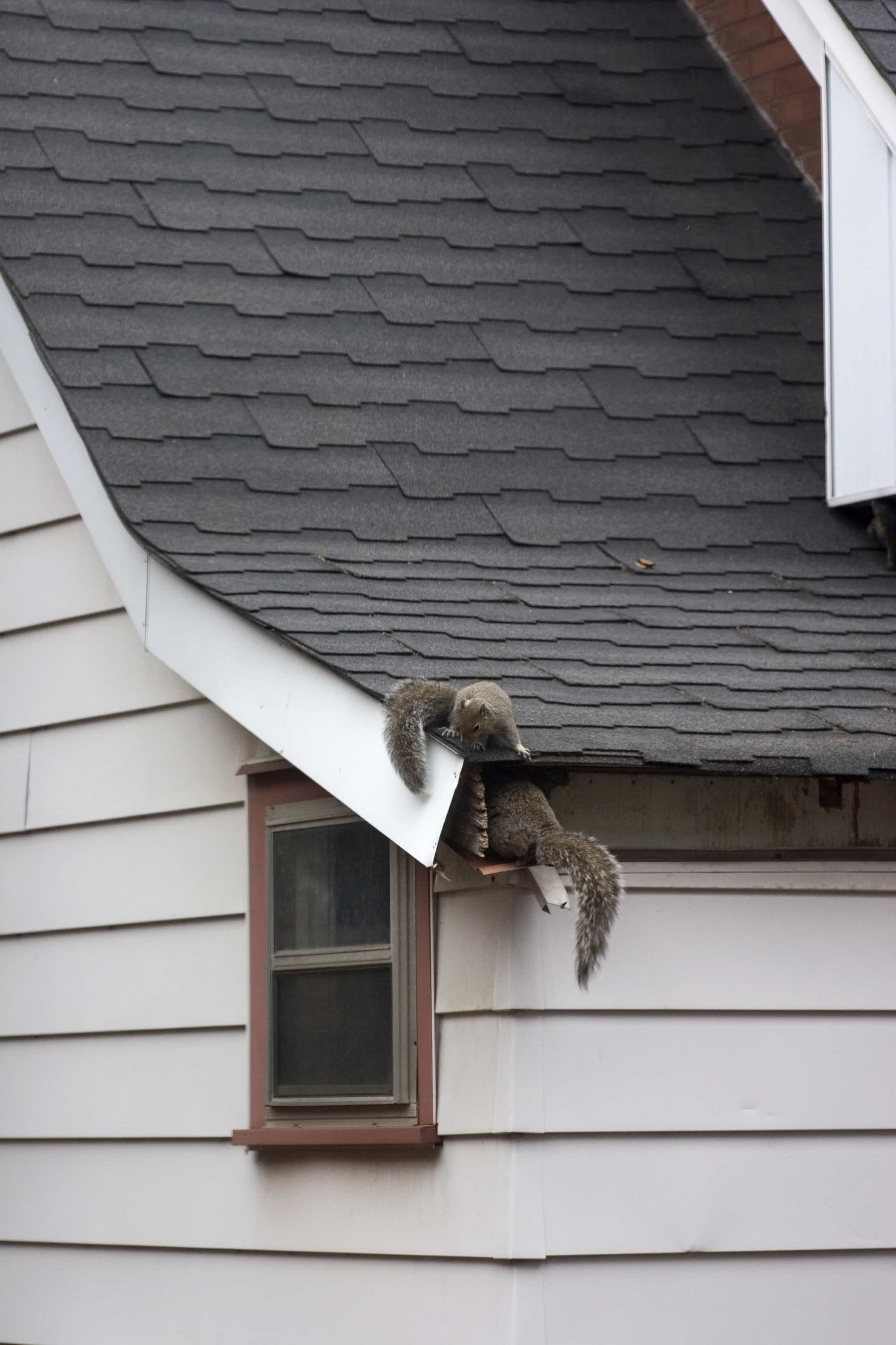 Get Rid of Squirrels in Attic