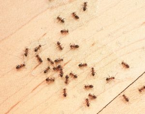 ant habitat where do ants live in and around your home