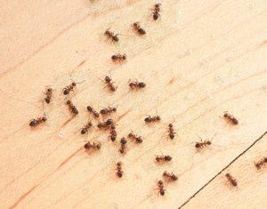 ants wood floor