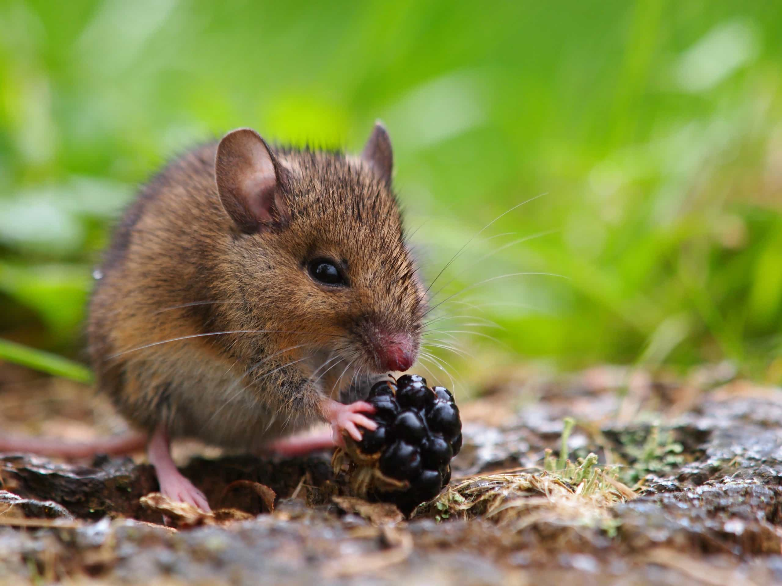Mouse_Berry_May_19