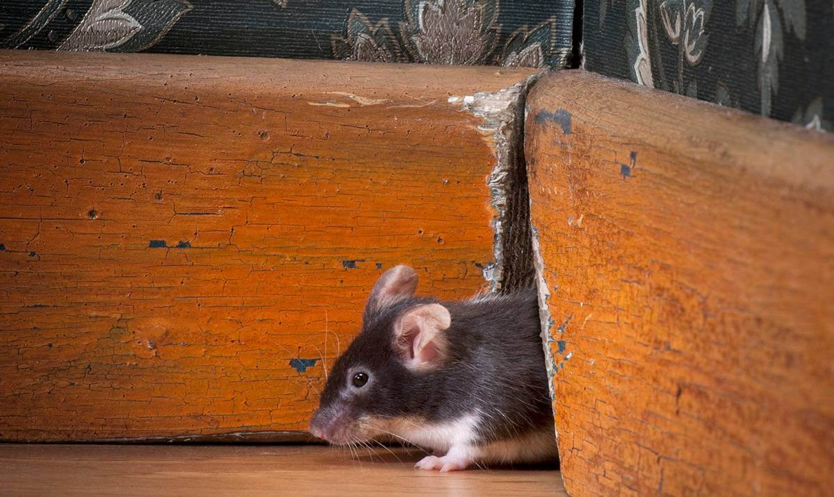 mouse-woodwork-rodent-pest
