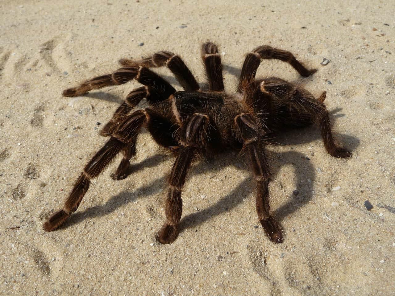 Tarantula_Archnid_Spider