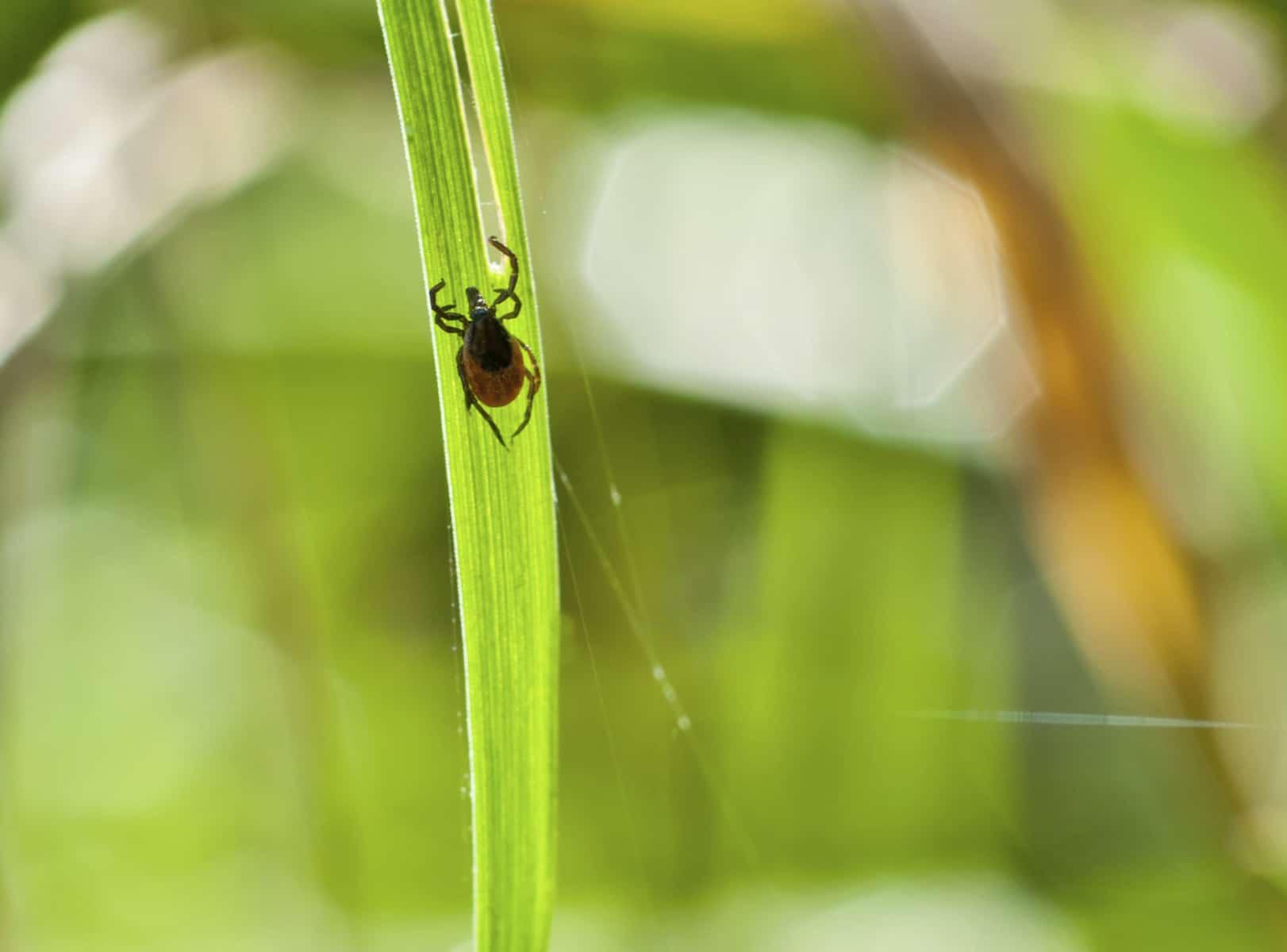 Tick_in_grass