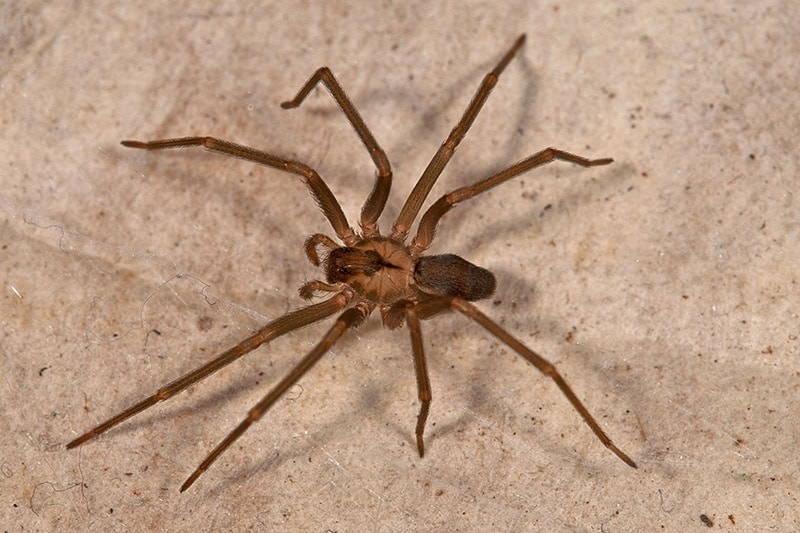 brown_recluse_spider_arachnid