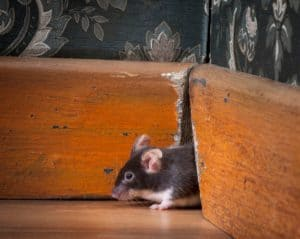 mouse in house