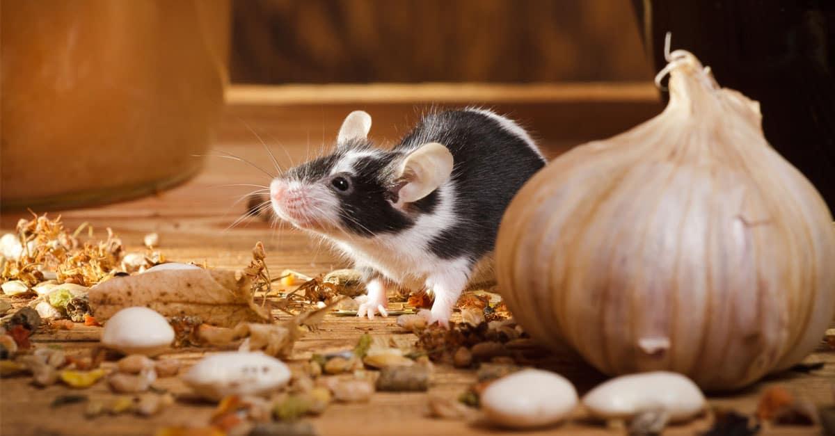 mouse_onion_FB
