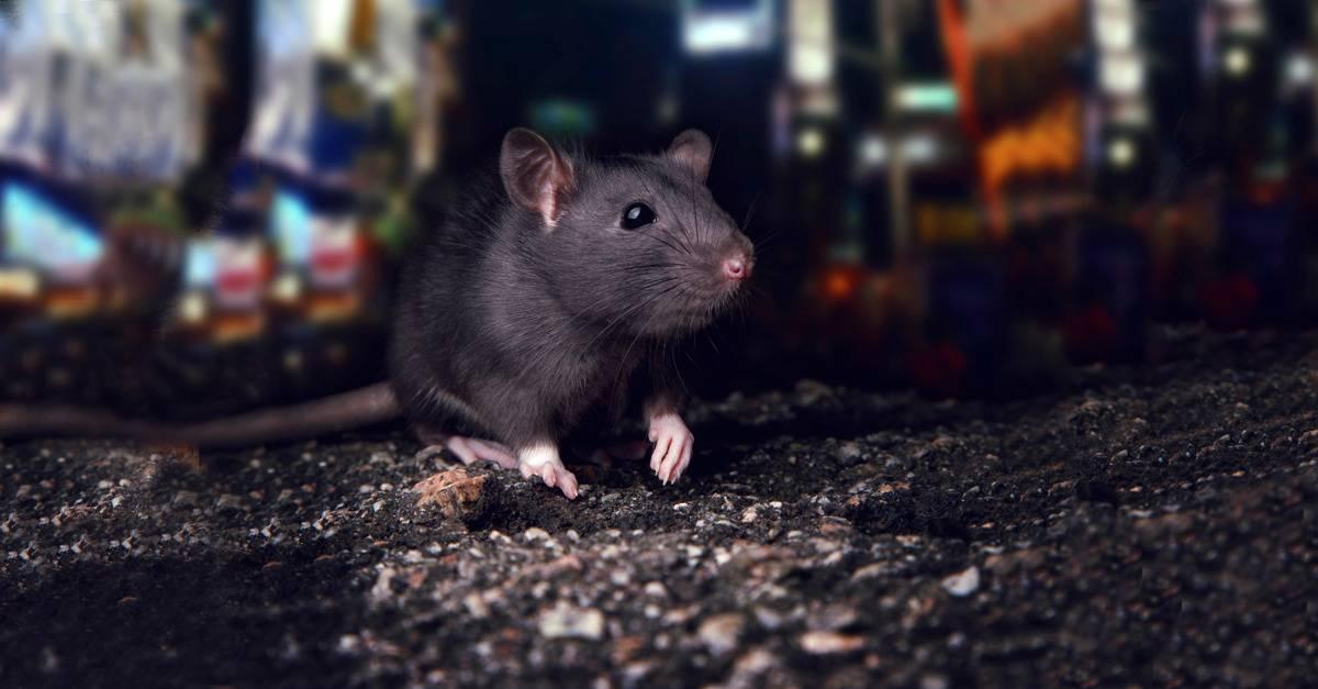 Rats_Mice