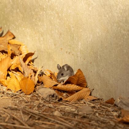 Field mouse hiding in leaves alongside wall