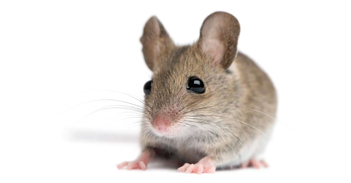 Pest of the Month: The Field Mouse. Making His Way To A ...