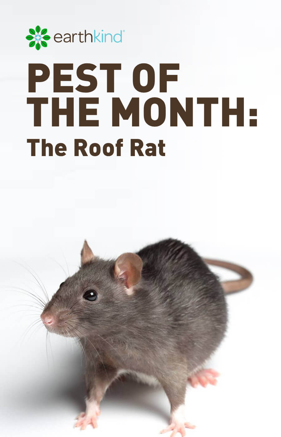 Pest of the Month: The Roof Rat | Earthkind