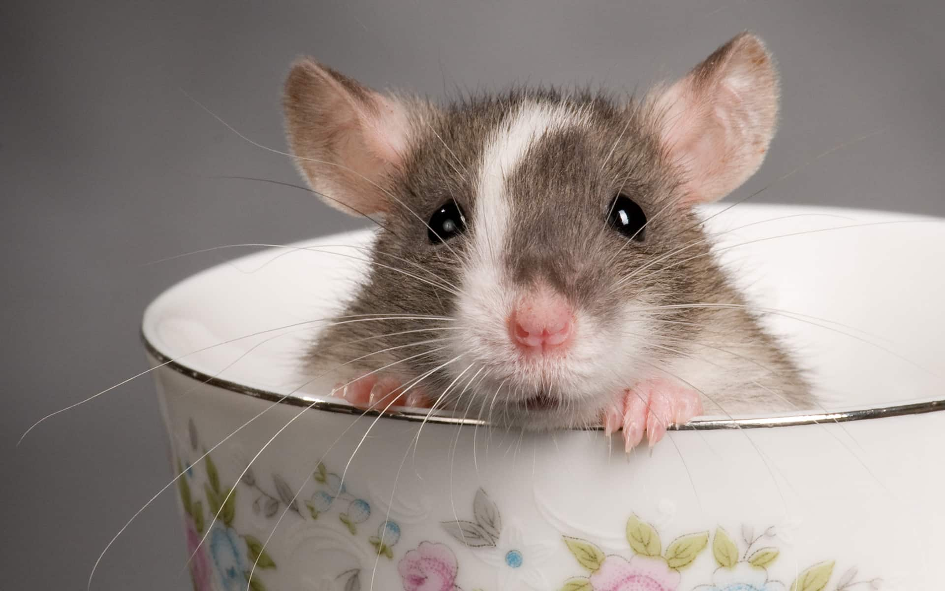 How to get rid of rats in my house