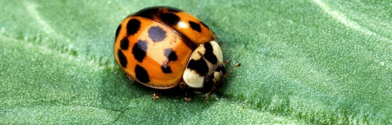 Pest of the Month:  The Asian Lady Beetle — Beneficial Bug or Pesky Problem?