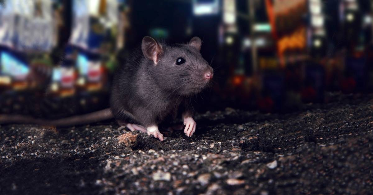 City_Rat_In-The_streets-4.jpg
