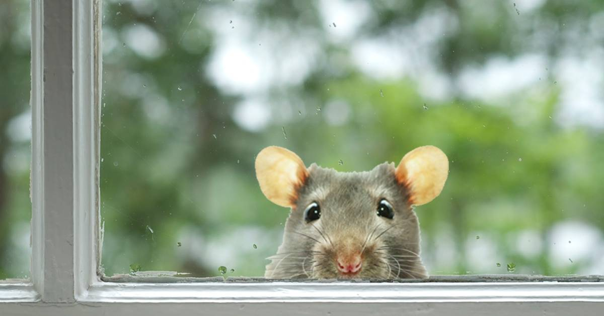 Mouse_peaking_through_window.jpg
