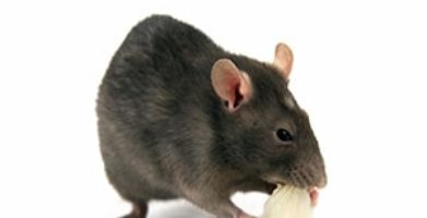 Mice Prevention:  Details on the Diet of a Mouse