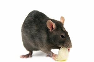 Rodent_Eating_Rat.jpg
