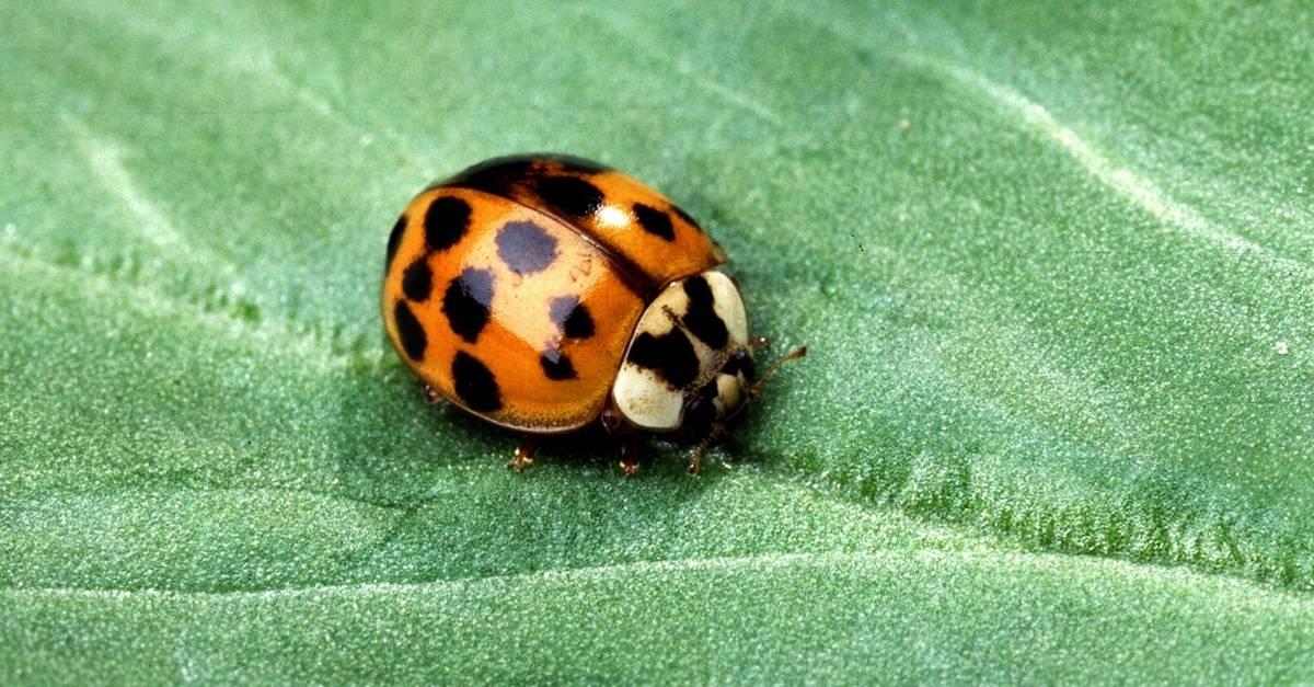lady_beetle_leaf_FB.jpg