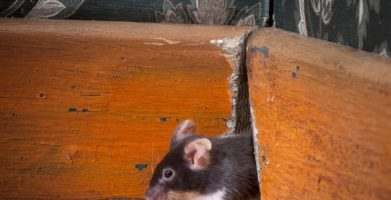 A Mouse in the House, A Rat in the Roof: How To Identify a Rodent
