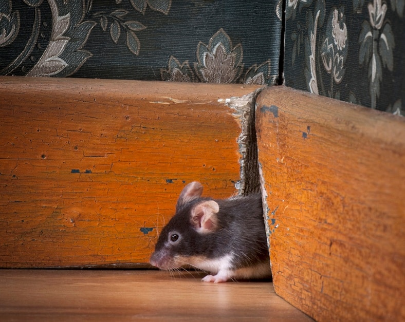 mouse-woodwork-rodent-pest.jpg