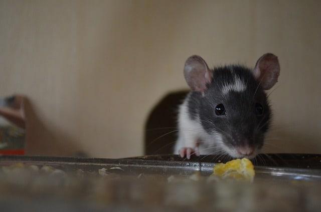 rat_food.jpg