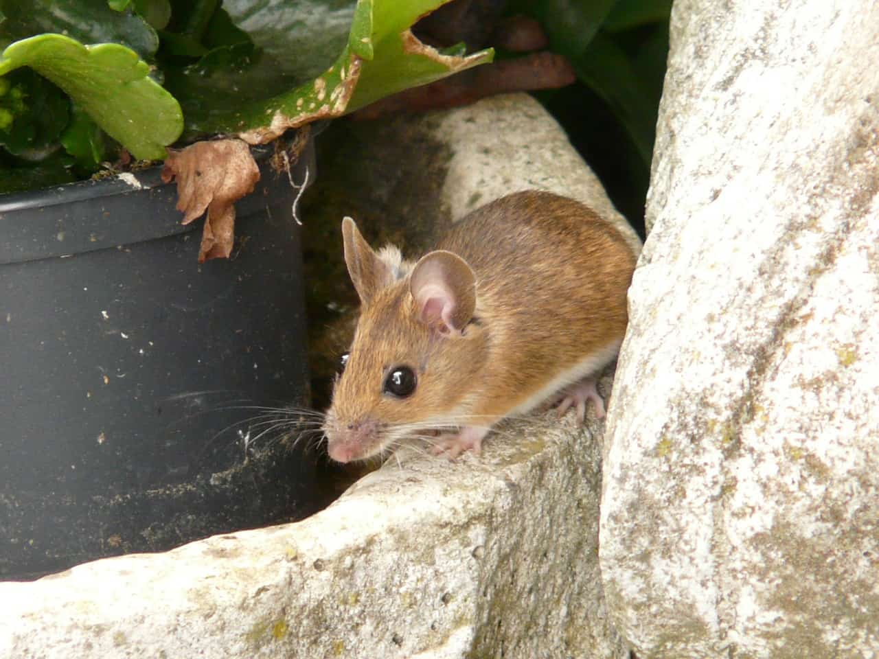 wood-mouse-outside-garden.jpg