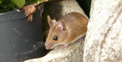 Diseases from Mice – Types of Rodent Related Illnesses