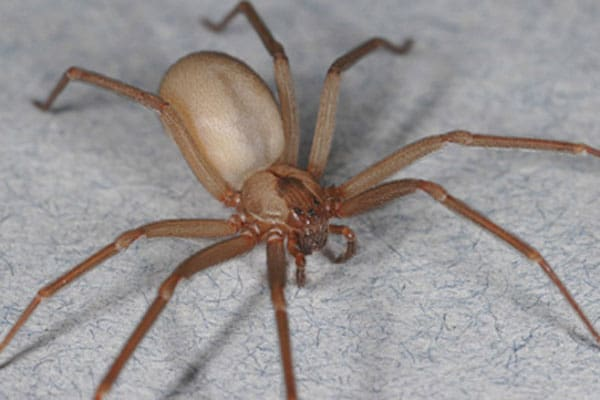 brown-recluse-spider-sized.jpg