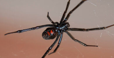 Dangerous Spiders – Which to Be Careful of in Your Home