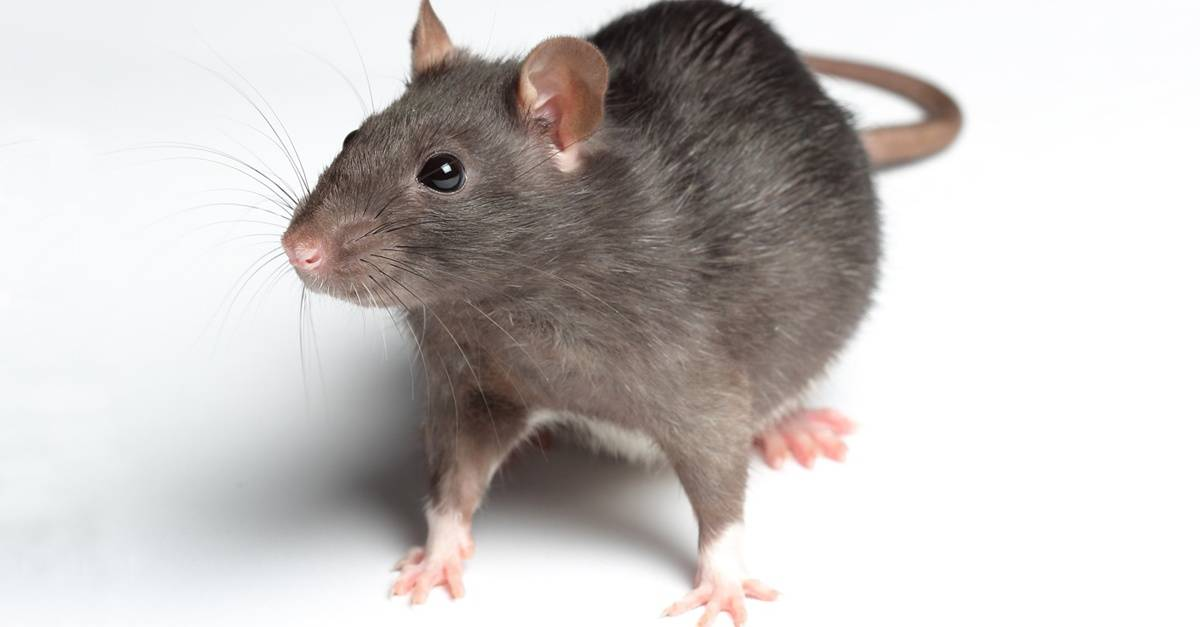 rat_6_FB.jpg