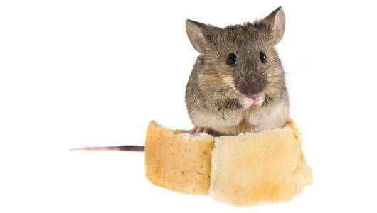get_rid_of_mice_main.jpg.653x0_q80_crop-smart.jpg