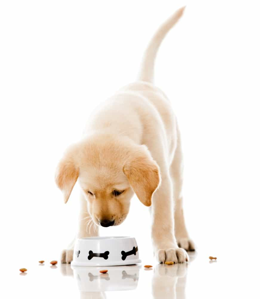 Cute puppy eating dog food - isolated over a white background.jpeg