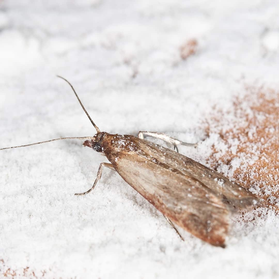 Ordinaire What Causes Pantry Moths?
