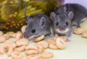 house mice rummaging through food stuffs