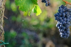 Spider web with grapes