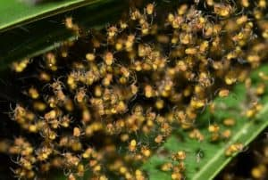 baby spiders spiderlings