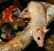 can mice climb