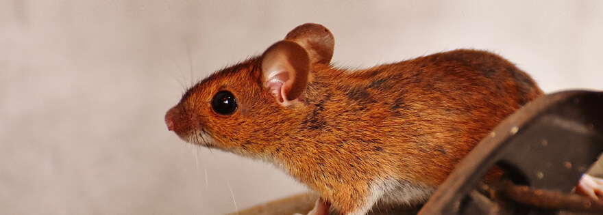 Can Mice Climb & Where Exactly Can They Fit & Go?   Earthkind