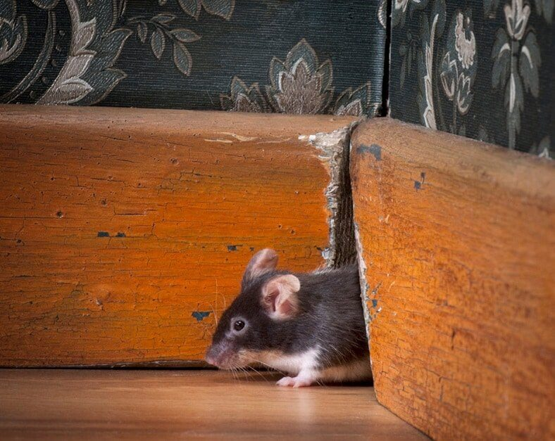 Mouse Sounds – Do Mice Make Noise & What Their Squeaks Mean